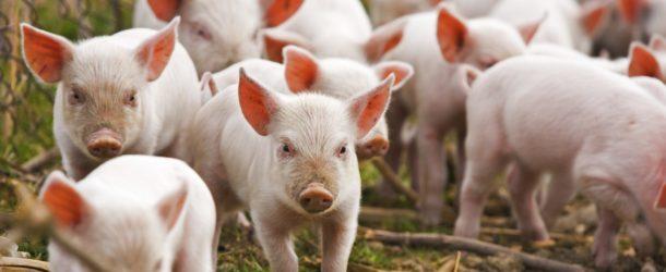 Pesta porcină africană, într-o exploatație neprofesională de pe teritoriul municipiului Călărași